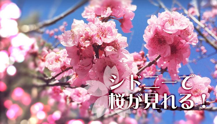 シドニーでも桜が見れるのをご存知ですか?