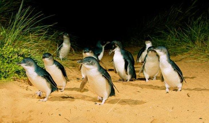 世界一小さいフェアリーペンギンに癒される!ペンギンパレードツアーに行ってきました