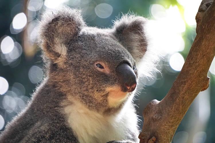 オーストラリアで出会える動物たち特集 コアラ編