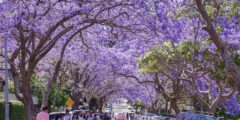 紫の花が満開!シドニーのミルソンパークでジャカランダを鑑賞