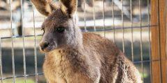 オーストラリアで出会える動物たち特集 カンガルー編